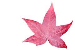 Leaf  isolated on white background. Royalty Free Stock Images