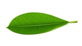 Leaf isolated on white background Stock Photography