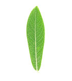 Leaf Stock Photography