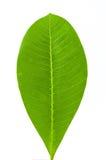Leaf isolated. On white background Stock Photo