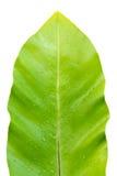 Leaf Isolated on white Royalty Free Stock Image