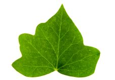 Leaf of Ivy Stock Image