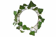 Leaf, Ivy, Plant, Tree royalty free stock images