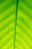 Leaf of japanese bigleaf magnolia Stock Photography