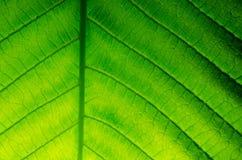 Leaf of japanese bigleaf magnolia Royalty Free Stock Image
