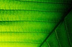 Leaf of japanese bigleaf magnolia Stock Photo