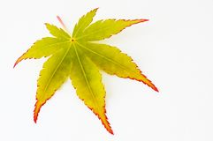 Leaf of a Japanese maple tree Royalty Free Stock Image