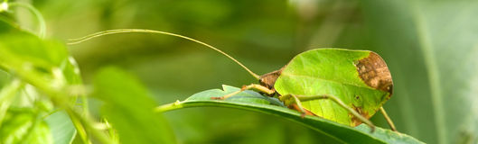leaf katydid Royalty Free Stock Image