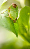 Leaf katydid Stock Photo