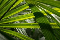 Leaf of Lady palm with droplet after rainny Stock Photo