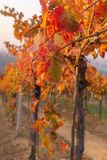 A leaf of lambrusco vineyards. During the colorful autumn stock photo