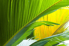 Leaf of a large fan palm tree Stock Photos