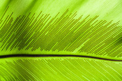 Large Leaf Royalty Free Stock Photography