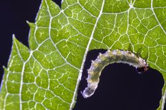 Leaf, Larva, Invertebrate, Caterpillar Royalty Free Stock Photo