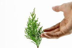 Leaf of Lawson& x27;s Cypress tree. stock images