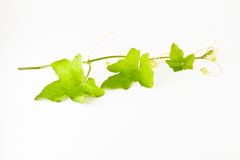 Leaf leaf leaf. As a vegetable in Thailand. For cooking for example  Add noodles Royalty Free Stock Photos
