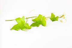 Leaf leaf leaf Royalty Free Stock Photos