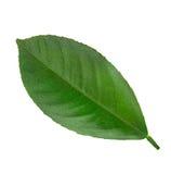 Leaf lemon citrus isolated on white Stock Images
