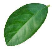 Leaf lemon citrus isolated on white background. Stock Photo
