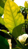 Leaf of lemon plant Royalty Free Stock Photo