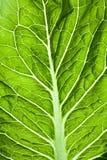 Leaf lettuce. Fresh green leaf lettuce texture royalty free stock image