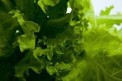 Leaf lettuce close-up. On white background Stock Photography