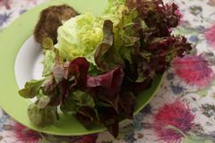 Leaf Lettuce. A fresh leaf lettuce in red and green stock photography