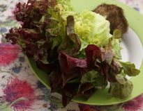 Leaf Lettuce. A fresh leaf lettuce in red and green royalty free stock image