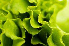 Leaf lettuce Stock Image