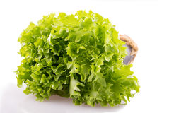 Leaf lettuce. In a pot on a white background Royalty Free Stock Photography