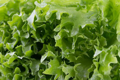 Leaf lettuce Stock Photography