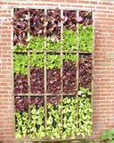 Leaf Lettuce Wall Royalty Free Stock Images