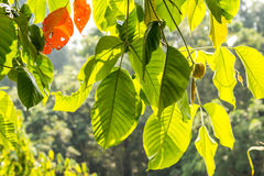 Leaf with light of sun royalty free stock image