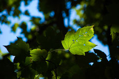 Leaf in light Royalty Free Stock Photos