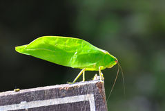 Katydid Bush Cricket Stock Image