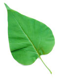 A Leaf of a Lilac Royalty Free Stock Photos