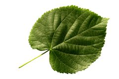 Leaf Lime (Tillia). Heart leaf of Lime (Tillia Royalty Free Stock Photos