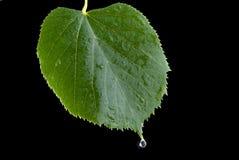 Leaf linden Stock Image
