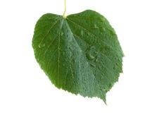 Leaf linden Stock Photography