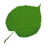 Leaf linden. Green leaf linden on a white background Royalty Free Stock Image
