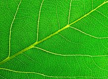 Leaf lines Royalty Free Stock Photography