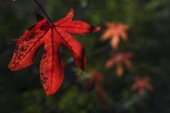 Leaf of liquidambar Stock Images