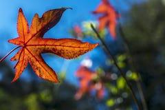 Leaf of liquidambar Royalty Free Stock Photo