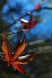 Leaf of liquidambar Royalty Free Stock Images