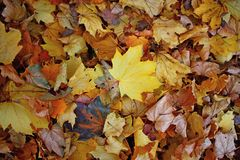 Leaf litter. A carpet of fallen maple leaves in golden autumn Stock Images