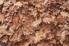 Leaf litter carpet fallen on woodland floor. Forest floor of leaves fresh from winter wind composting royalty free stock image