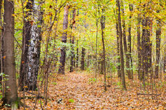 Leaf litter path in autumn forest. Pathway with leaf litter in autumn forest Stock Image