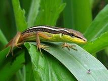 Leaf Lizard Stock Photography
