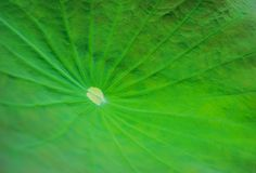 The leaf of lotus on the outdoor Royalty Free Stock Photo