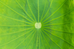 The leaf of lotus on the outdoor Stock Images